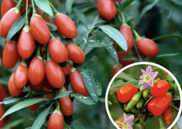 Гоџи (Волчји) бобинките можат да спречат рак и дијабетес – еве како да ја засадите оваа билка